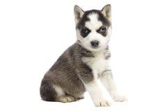 Siberisch Schor Puppy Royalty-vrije Stock Afbeelding