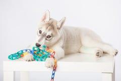 Siberisch Schor puppy Royalty-vrije Stock Foto