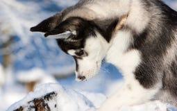 Siberisch Schor Puppy in Sneeuw Stock Afbeelding