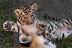 Siberisch Tiger Cub Royalty-vrije Stock Afbeelding
