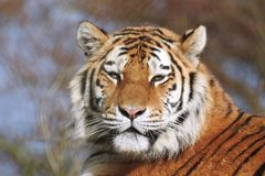 Siberisch Tiger Panthera Tigris Altaica Looking in lens royalty-vrije stock afbeeldingen