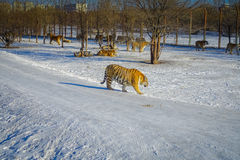 Siberisch Tiger Park in Harbin, China stock foto