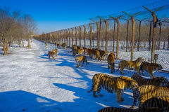 Siberisch Tiger Park in Harbin, China stock fotografie