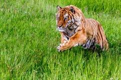 Siberisch Tiger Pouncing Stock Fotografie