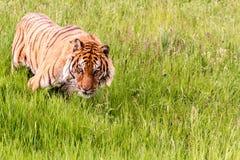 Siberisch Tiger Walking By royalty-vrije stock afbeeldingen