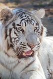 Siberisch tijgerportret Stock Afbeeldingen