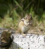 Siberische Aardeekhoorn stock afbeeldingen