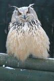 Siberische adelaarsuil Royalty-vrije Stock Afbeeldingen