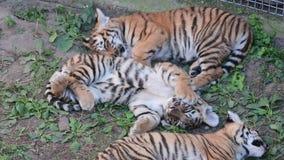 Siberische altaica van tijgerpanthera Tigris, ook genoemd Amur-tijger, is een tijgerondersoort wonend hoofdzakelijk in Sikhote stock videobeelden