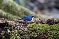 Siberische blauwe Robin royalty-vrije stock afbeeldingen