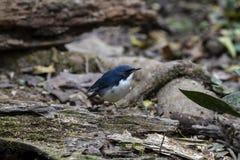 Siberische blauwe Robin royalty-vrije stock foto's