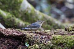 Siberische blauwe Robin stock foto's