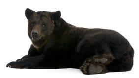Siberische Bruin draagt, 12 jaar oud, het liggen Royalty-vrije Stock Afbeeldingen