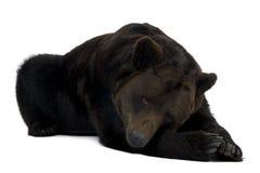 Siberische Bruin draagt, 12 jaar oud, het liggen Stock Afbeeldingen