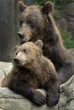 Siberische Bruin draagt royalty-vrije stock afbeelding