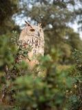 Siberische bubo van uilbubo in het bos stock afbeelding