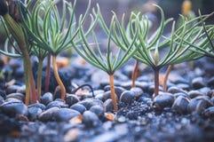 Siberische ceder Stock Fotografie