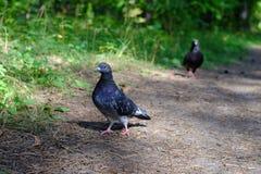 Siberische duiven op een bossleep Royalty-vrije Stock Afbeelding
