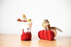 Siberische eekhoorn Royalty-vrije Stock Foto's