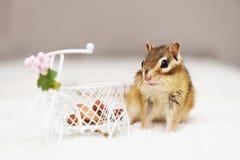 Siberische eekhoorn Stock Afbeeldingen