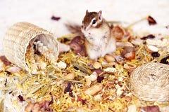 Siberische eekhoorn Royalty-vrije Stock Afbeelding