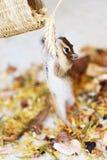 Siberische eekhoorn Stock Fotografie