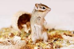 Siberische eekhoorn Stock Afbeelding