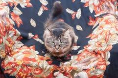 Siberische gestreepte kat met groene ogen, het liggen Stock Foto