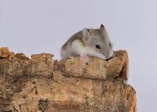 Siberische hamster over de boomstam stock fotografie