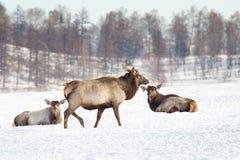 Siberische herten stock fotografie