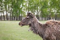 Siberische herten die droog gras in het bos op de wildernis eten Stock Afbeelding