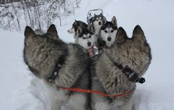 Siberische Huskies Royalty-vrije Stock Foto's