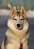 Siberische Huskies royalty-vrije stock fotografie