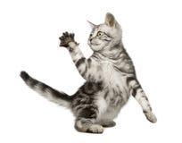 Siberische kat (12 weken) Royalty-vrije Stock Foto