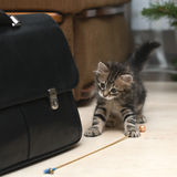 Siberische kat Royalty-vrije Stock Afbeelding