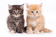Siberische kat Royalty-vrije Stock Afbeeldingen