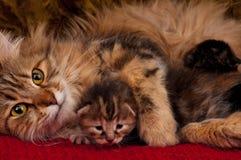Siberische kat Stock Foto