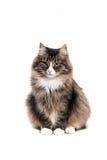 Siberische kat Royalty-vrije Stock Foto