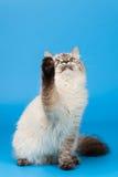 Siberische kat Stock Foto's
