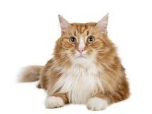 Siberische kat (de kat van Boukhara) Royalty-vrije Stock Afbeeldingen