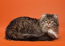 Siberische katten zwarte tijger Royalty-vrije Stock Fotografie