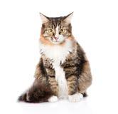 Siberische kattenzitting vooraan en het bekijken camera Geïsoleerde Royalty-vrije Stock Fotografie