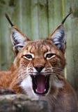 Siberische lynx Royalty-vrije Stock Afbeeldingen