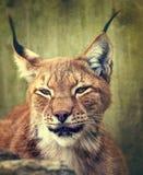 Siberische lynx Stock Afbeelding