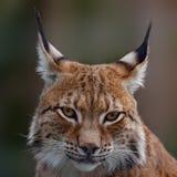 Siberische lynx Royalty-vrije Stock Foto