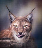 Siberische lynx Stock Foto