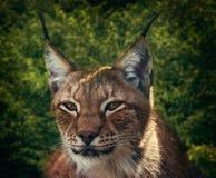 Siberische lynx Royalty-vrije Stock Foto's