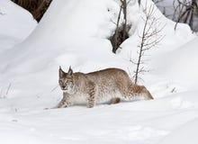 Siberische Lynx in Klassieke Houding Stock Afbeeldingen