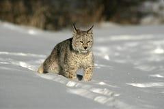 Siberische lynx, Lynxlynx Stock Foto's