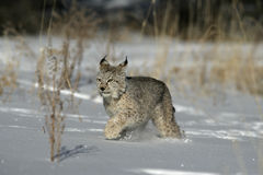 Siberische lynx, Lynxlynx Royalty-vrije Stock Afbeeldingen